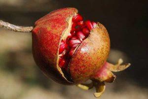Pomegranate for ED